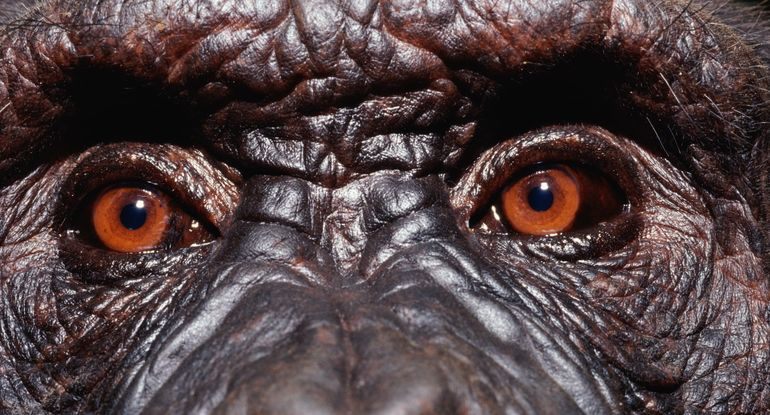 Scientists Push to Experiment with HumanChimp Hybrid